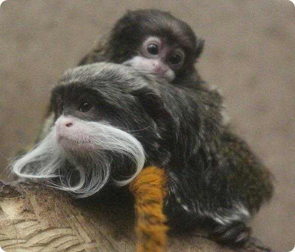 В зоопарке Белфаста родился детеныш тамарина