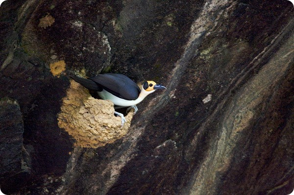 Западная лысая ворона (лат. Picathartes gymnocephalus)