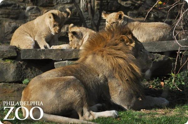 В зоопарке Филадельфии подрастают африканские львята