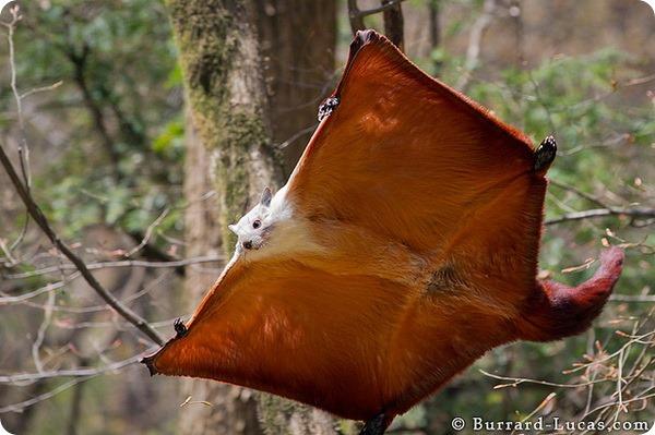 Бело-рыжая летяга (лат. Petaurista alborufus)