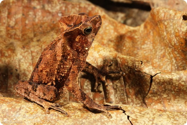 Гребенчатоголовая жаба (лат. Rhinella margaritifera)