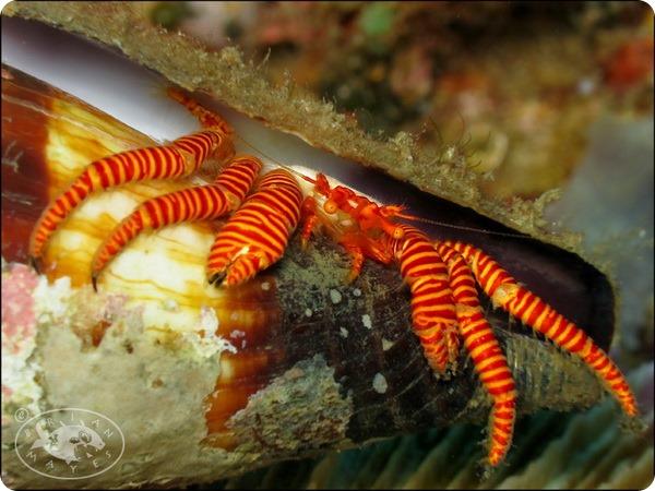 Красноногий рак-отшельник (лат. Ciliopagurus strigatus)