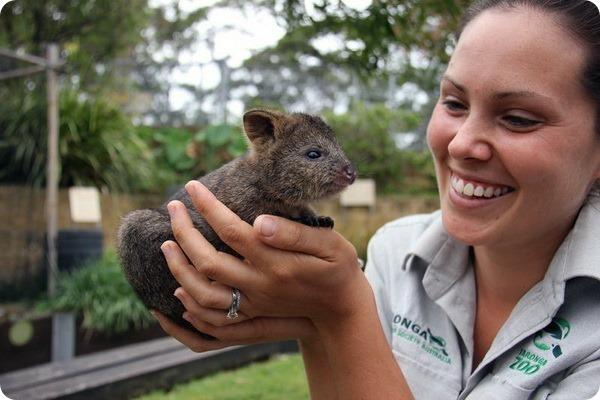 В зоопарке Таронга выхаживают детеныша квокки
