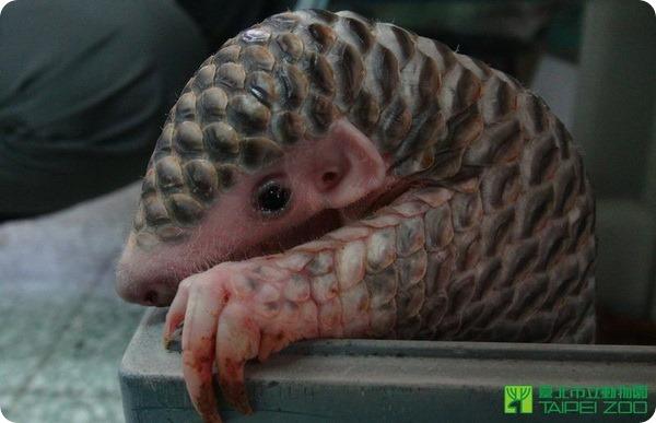 В зоопарке Тайбэя выхаживают двухмесячного панголина