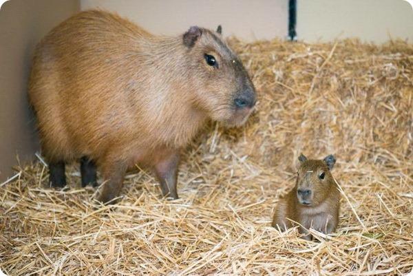 Зоопарк Хьюстона рад представить детеныша капибары
