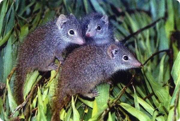 Потомство крапчатой сумчатой мыши из зоопарка Перта