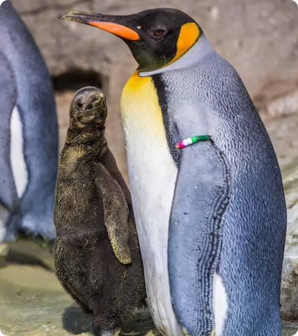 Мюнхенский зоопарк представил птенца королевского пингвина