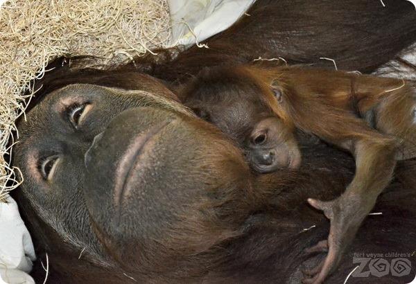 В зоопарке США родился детеныш суматранского орангутанга