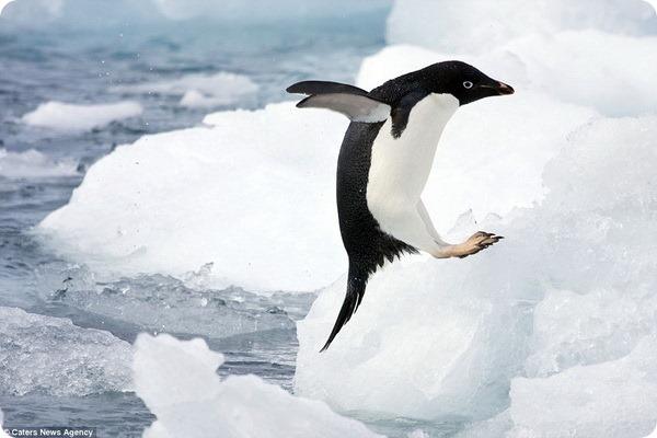 Пингвины Адели с острова Дьявола