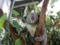 В зоопарке Таронга появился новый самец коалы