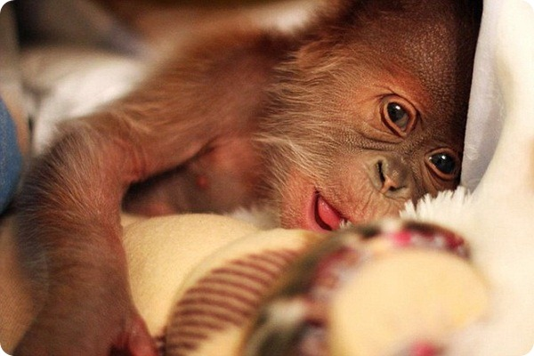 Детеныш орангутанга по имени Рик переезжает в Англию