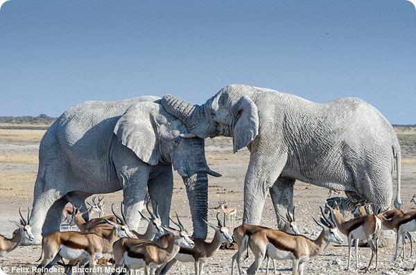 «Белые призраки» Национального парка Этоша
