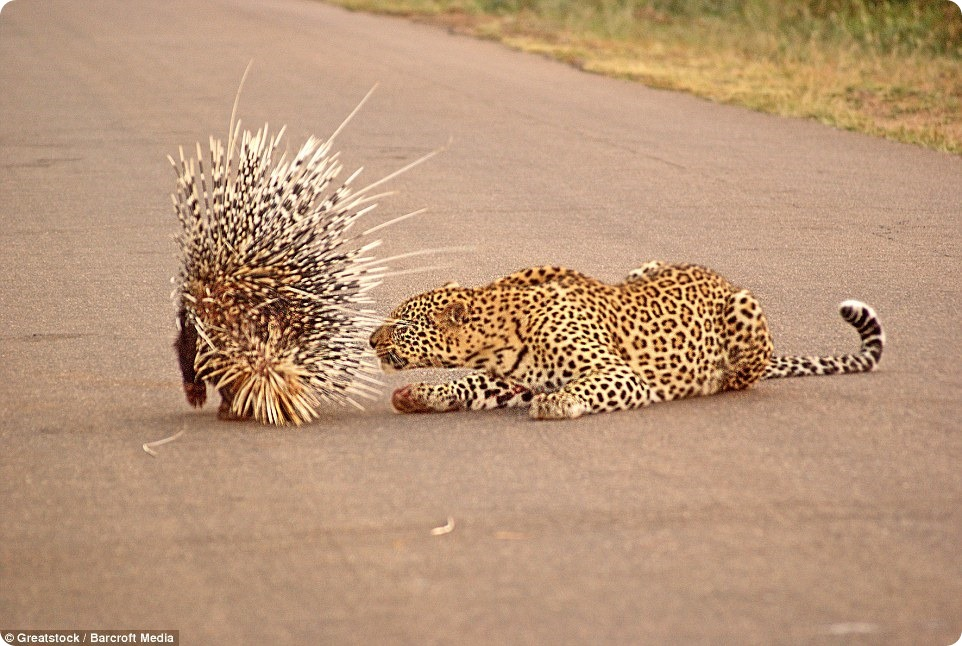 Неожиданная встреча леопарда с дикобразом
