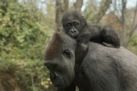 Зоопарк Бронкса представил двух детенышей гориллы