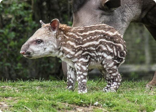 В зоопарке Линтона родился детеныш бразильского тапира