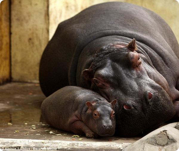 В зоопарке Цзинаня родился детеныш бегемота