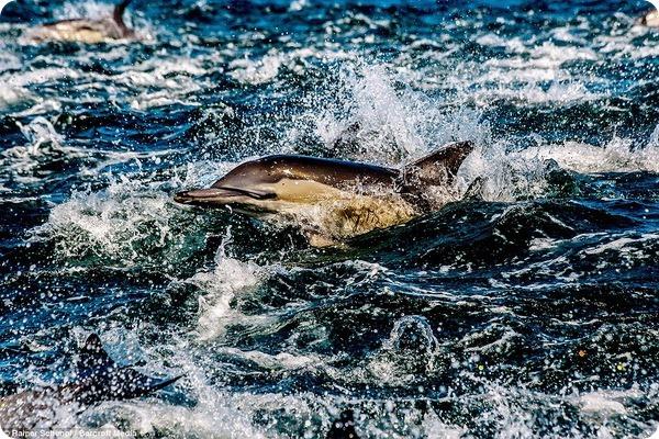 Охота дельфинов у берегов Южной Африки
