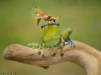 Лягушка и оса от индонезийского фотографа Фрэнки Юнга
