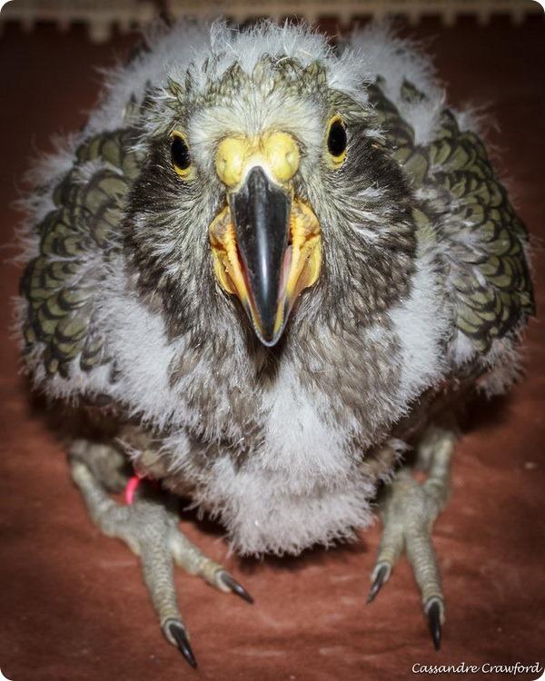 Зоопарк Цинциннати представил птенцов Кеа