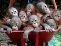 Спасение индонезийских орангутангов
