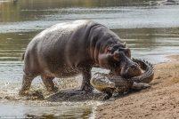 Cамка бегемота защитила своего малыша от крокодила