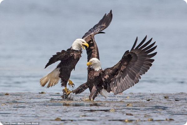 Белоголовые орланы сражаются за пищи