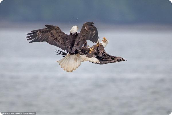 Белоголовые орланы сражаются за пищу