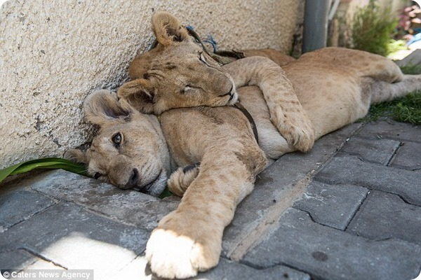 В секторе Газа спасли двух львят