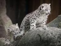 Зоопарк Крефельд представил детенышей снежного барса