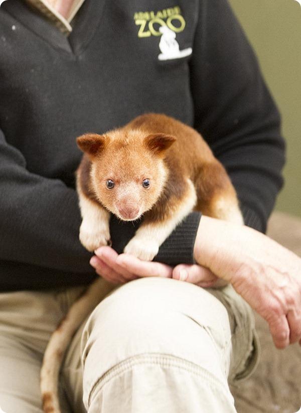 Зоопарк Аделаиды спас детеныша древесного кенгуру