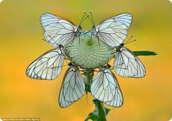 Бабочки и стрекозы от фотографа Мауро Майоне