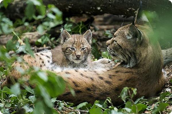 Зоопарк Шёнбрунн представил детенышей рыси