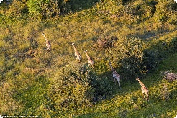 Вид сверху: Потрясающие фотографии животных Окаванго