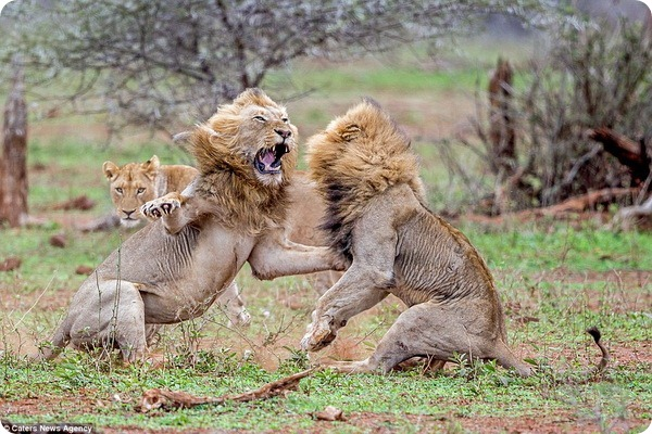 В парке Крюгера двое львов подрались из-за самки