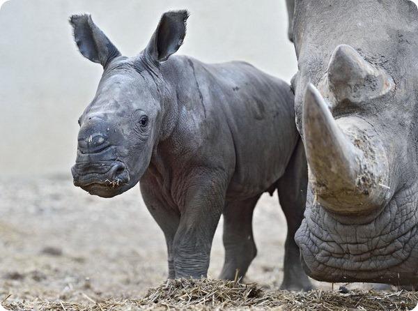 Зоопарк Израиля представил детеныша белого носорога