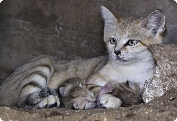 Котята барханной кошки из зоопарка Рамат-Гана