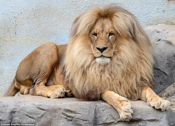 Знайомтеся, лев Леон із зоопарку Чехії! - все про тварин