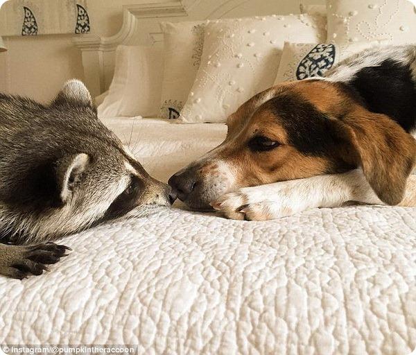Енотиха Тыковка, считающая себя собакой