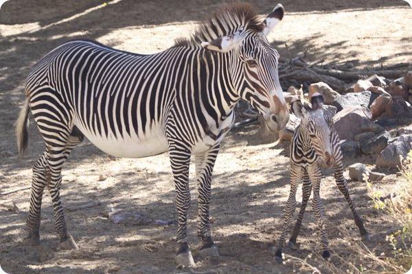 В зоопарке Денвера родился детеныш зебры Греви