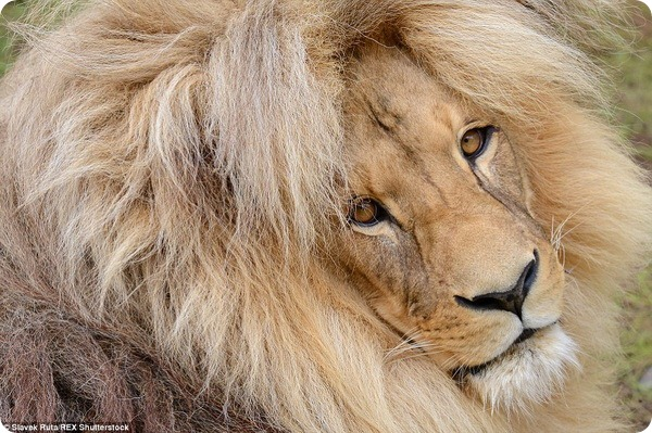 Знакомьтесь, лев Леон из зоопарка Чехии!