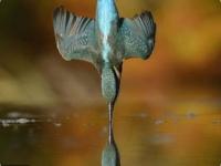 Идеальный снимок зимородка шотландского фотографа