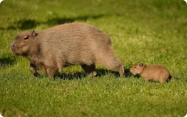 Детеныш капибары с мамой из зоопарка Честера