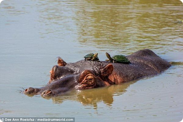 Неожиданная встреча с гигантским бегемотом