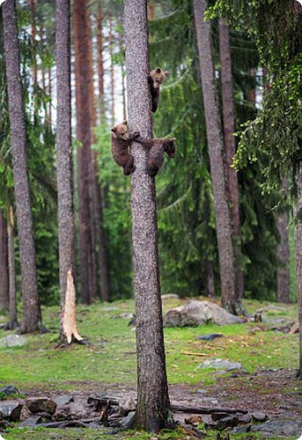 Семейство медведей от фотографа Вилле Пяякконена