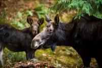 Лоси из парка дикой природы Northwest Trek