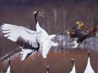 Схватка между японским журавлем и орланом-белохвостом