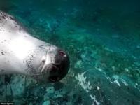 Морской леопард с удовольствием позирует для фотографа