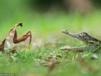 Встреча воинственного богомола и детеныша крокодила