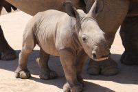 В зоопарке Таронга родился детеныш белого носорога