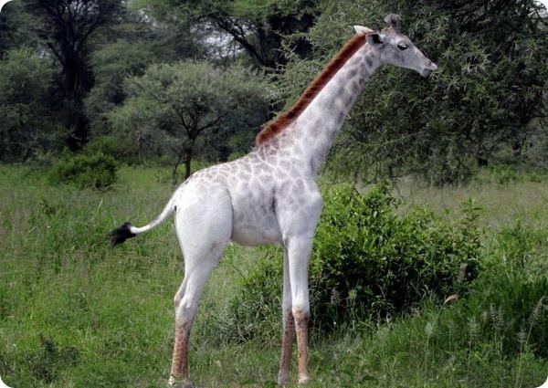 Редкий белый жираф из Национального парка в Танзании